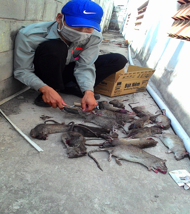 Diet-chuot-tai-Vinh-Long