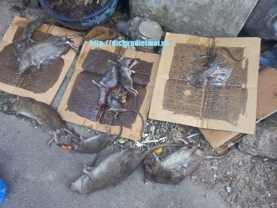 Diệt chuột tại Phú Yên