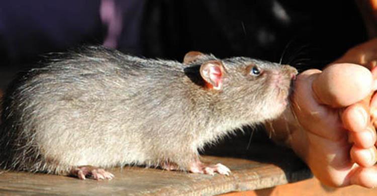 Dịch vụ diệt chuột tại Cần Thơ