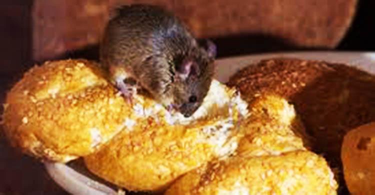 diệt chuột tại Bình Phước