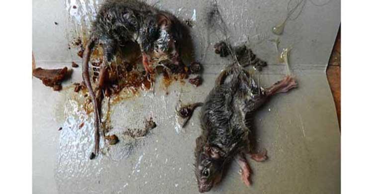 diệt chuột phòng trọ