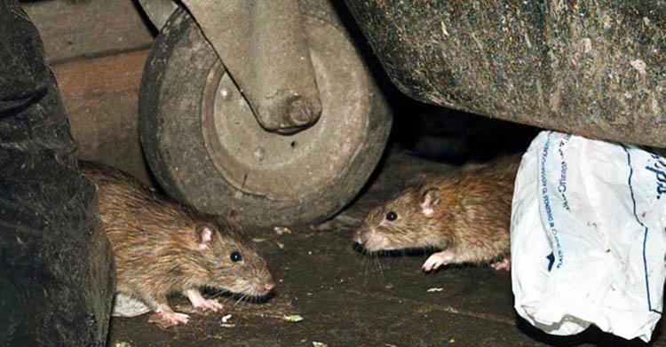 Dịch vụ diệt chuột tại Tây Ninh