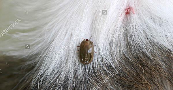 cách diệt bọ chét không sử dụng thuốc