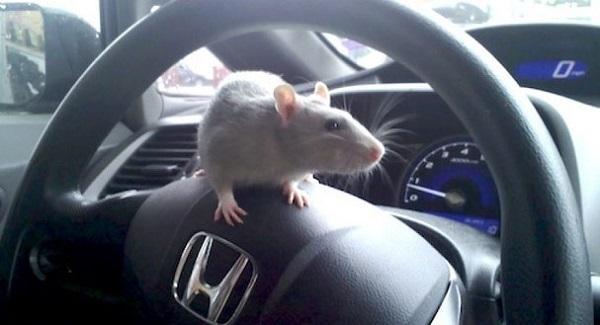 cách đuổi chuột ra khỏi xe oto