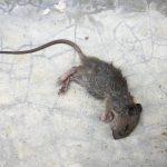 cách làm sạch mùi chuột chết