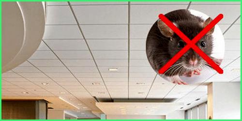 cách diệt chuột trần nhà