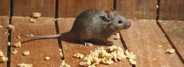 diệt chuột Nhắt tại nhà