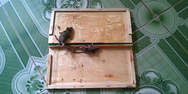 keo dính chuột có an toàn không