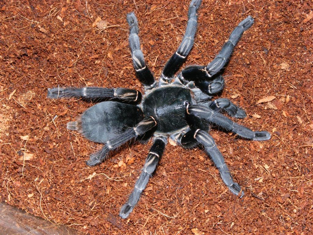 Nhện khổng lồ tấn công vào nhà, nhện bò vào nhà