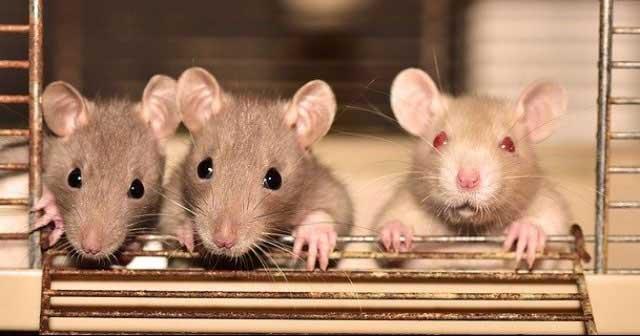 Những điều thú vị về loài chuột